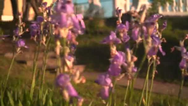 Rudé slunce v zapadajícím slunci. Purpurové irisy v květinové posteli, kamera se pohybuje zprava doleva.