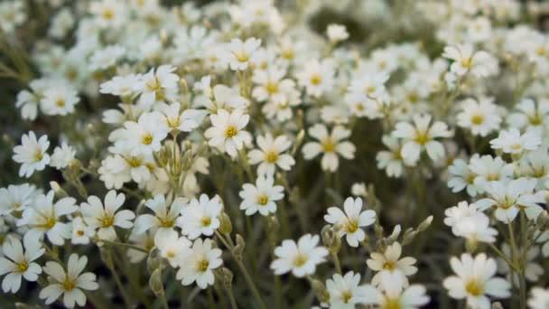 Closeup white Kosmeya in the garden at summer.