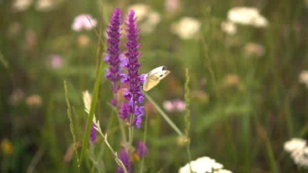 Gyönyörű pillangó egy lila virágot. Vértes egy gyönyörű pillangó séta egy virág.