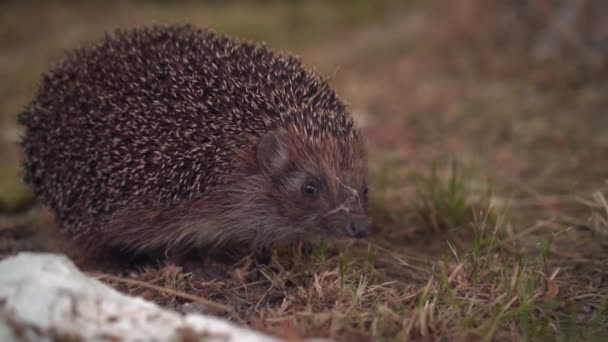 Hedgehog in the green grass walks. Hedgehog in the wild in green grass.