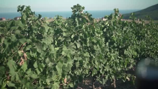 Žena má sklenici červeného vína při západu slunce na pozadí vinice a hor.
