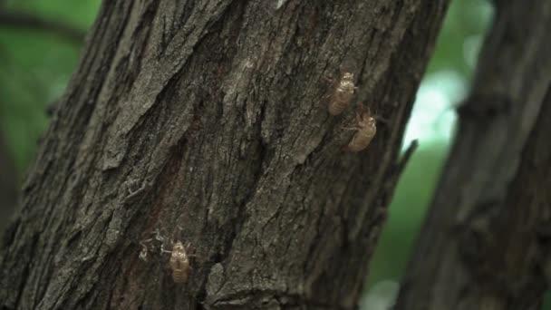 fosilní nebo skořápka cikády nebo hmyzu na stromě v létě