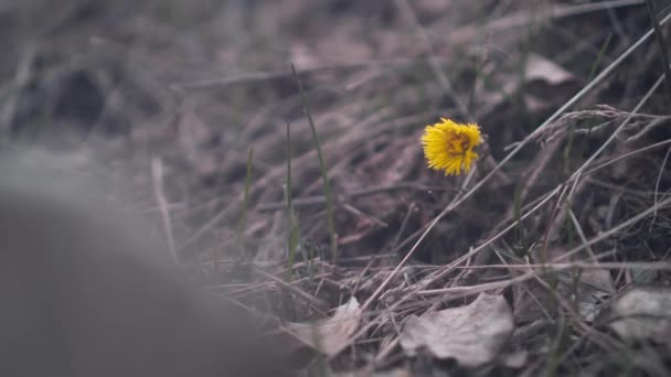 Lonely yellow dandelion among the dried grass. Even if you are alone, you are strong