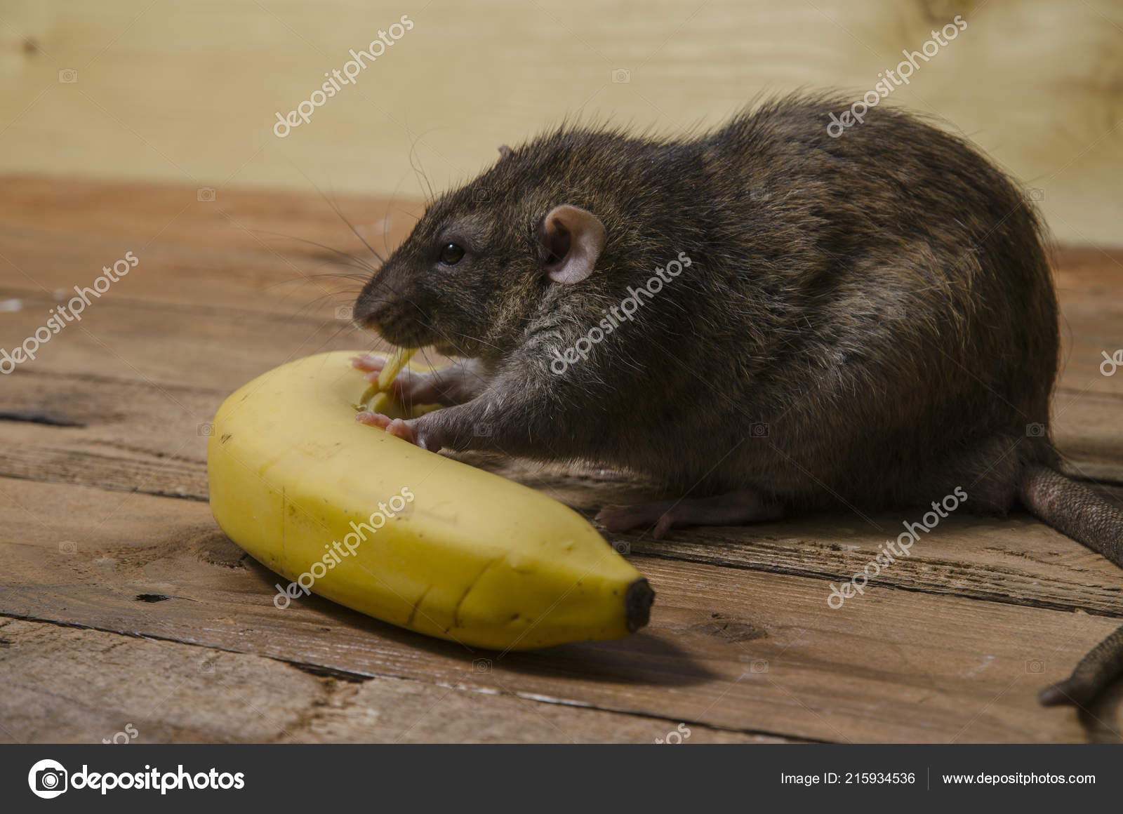 Banana On Table A rat is eating a banana on a wooden tableu2013 stock image