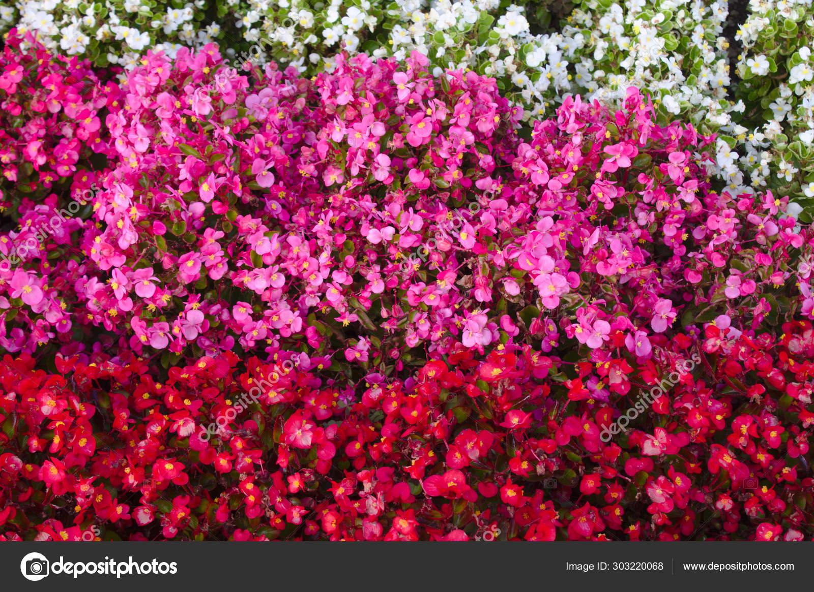 Wax Begonia Garden Stock Photo C Martinaunbehauen 303220068