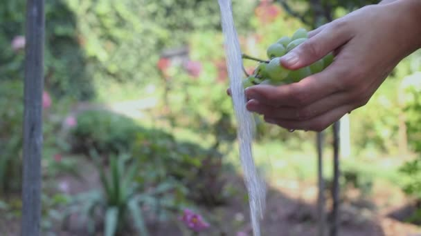 Womans hand washing fresh and organic grapes with fresh and clean water in the garden