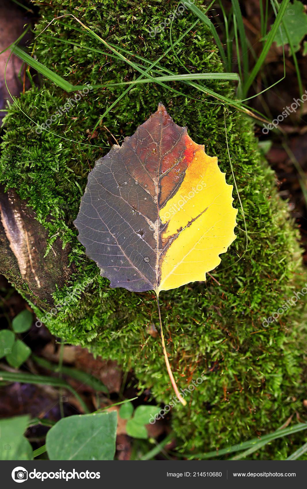 une moitié beau jaune brune rouge automne tremble arbre feuille