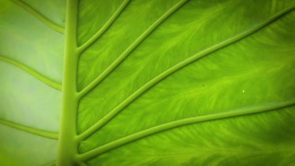 Közelről Leaf Texture Elephant fül Plant