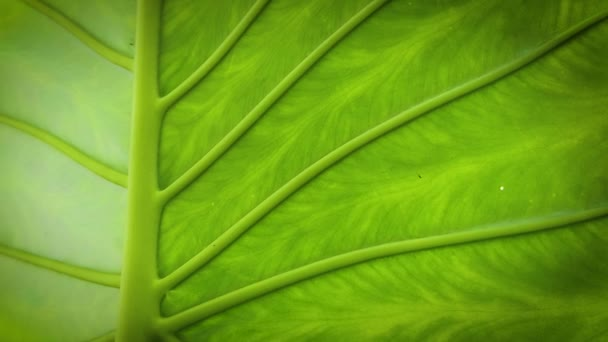 Close Up Of Leaf Texture Elephant Ear Plant