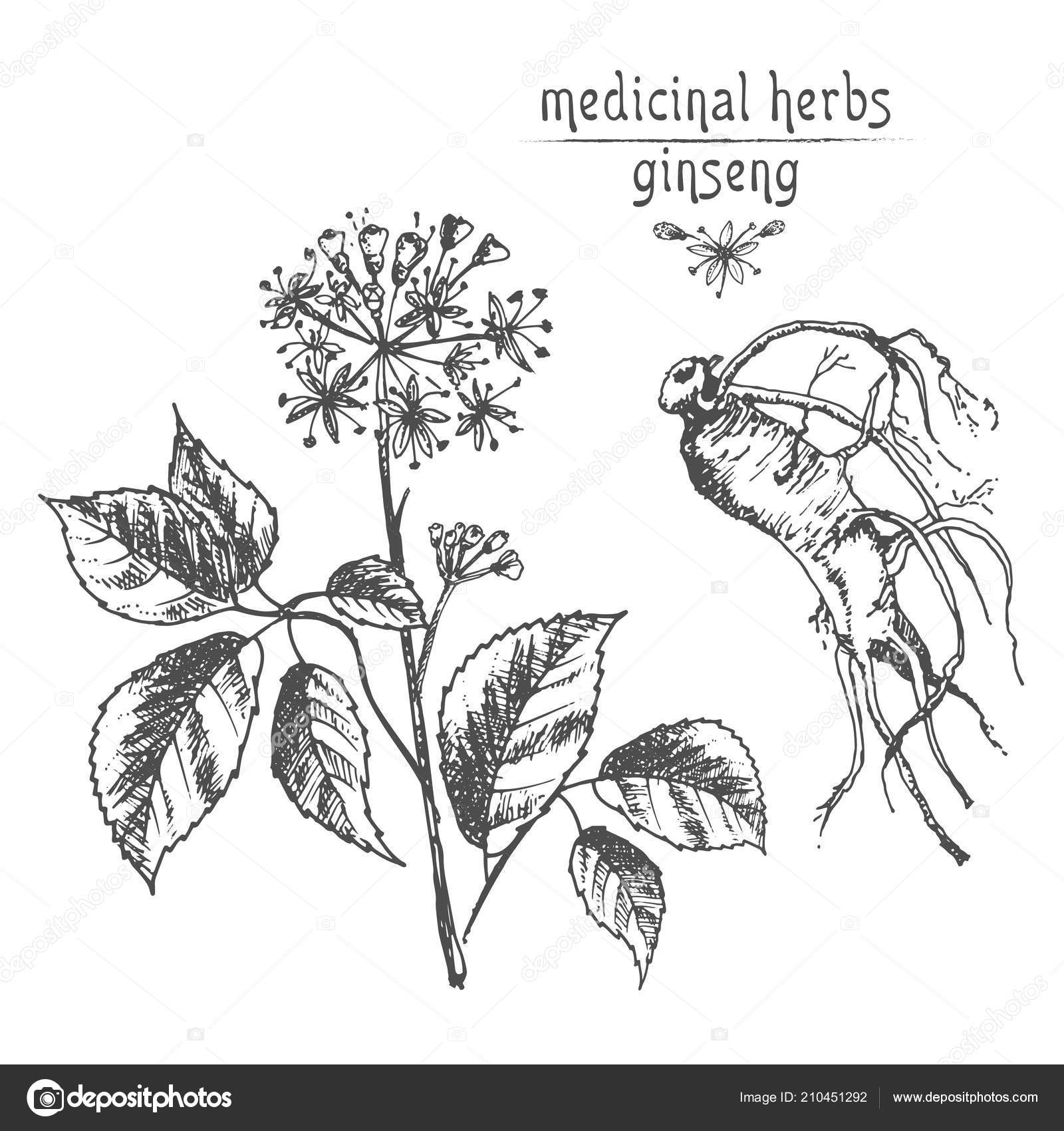 Realistic Botanical Ink Sketch Ginseng Root Flowers Berries Isolated