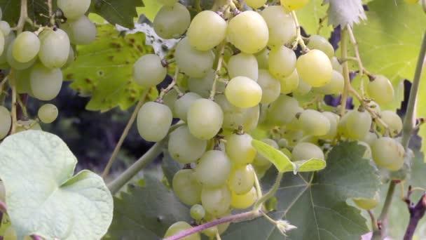 gyönyörű csokor zöld szőlő lóg egy bokor egy nyári napsütéses napon