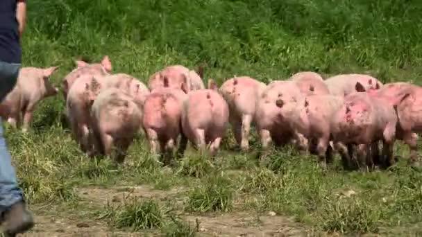 Vepřín s mnoha prasata