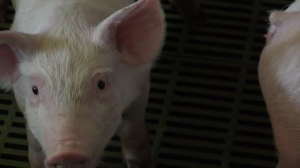 Vepřín s mnoha prasata, zemědělství