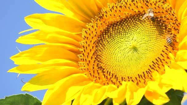 Včely a čmelák na slunečnicová pole během západu slunce, úžasné krásné pozadí