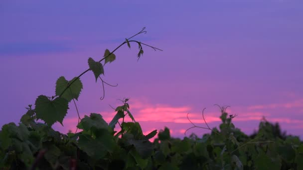 Sunrise Bordeaux Vineyard, Gironde, Aquitaine