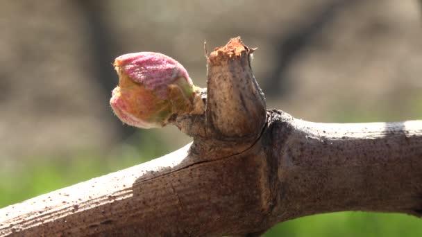 Vinice, nový růst z rév, vinice