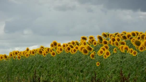 Sommerlandschaft, Schönheit Sonnenuntergang über Sonnenblumenfeld