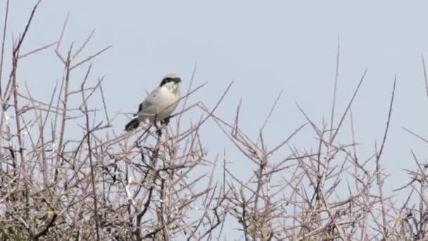 Ťuhýk šedý pták stojící na větvi