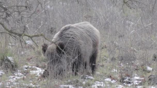 Malebný pohled kančí chůzi a jíst v lese