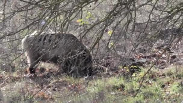 Scenic view of Wild Boar walking and eating in forest