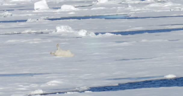 White bear somersaulting on floating glacier