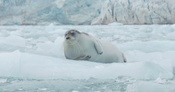 Festői kilátás nyílik a szakállas fóka fekvő úszó jéghegy