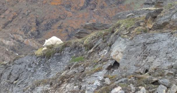 Polar Bear sleeping on rock in Spitsbergen, Norway