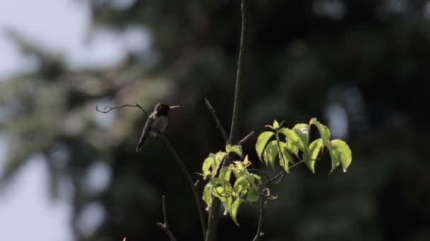 Krásný záběr ruby throated kolibřík Heinrich von létat