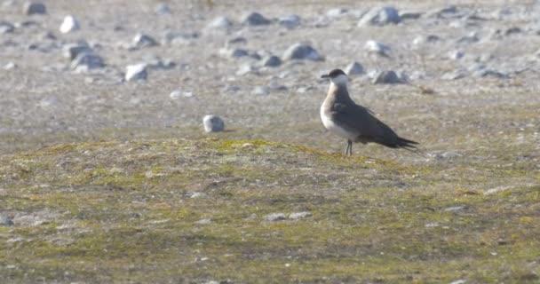 Arctic Skua standing on ground, Norway
