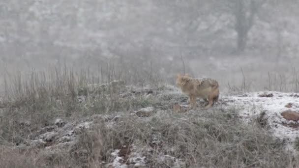 Šedý vlk sedící pod sněhem v Golanských výšinách