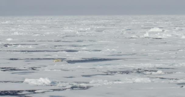 White bear lying on floating glacier