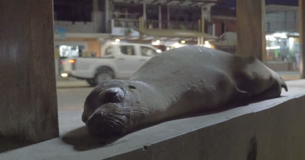 Galapagos sea lion sleeping on city streets