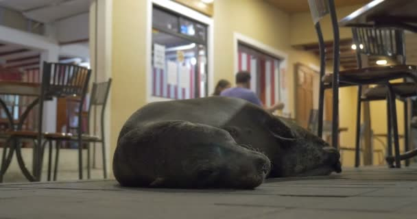 Galapagos sea lion lying in restaurant