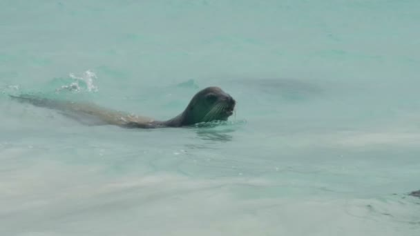 Galapagos Sea Lion resting in water