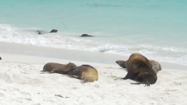 Galapagos Sea Lion resting on sandy beach