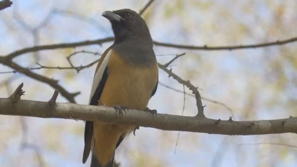 Rufous treepie bird sitting on branch