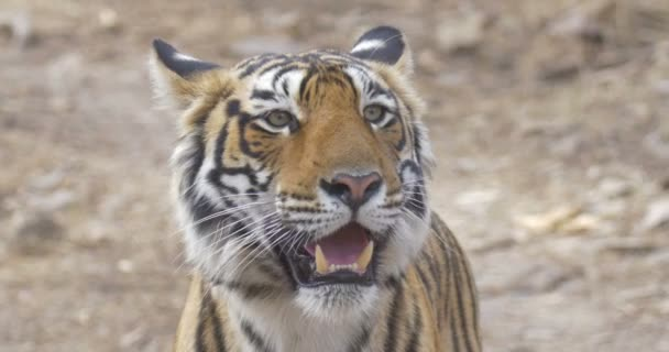 Tiger standing at ranthambore national park, India