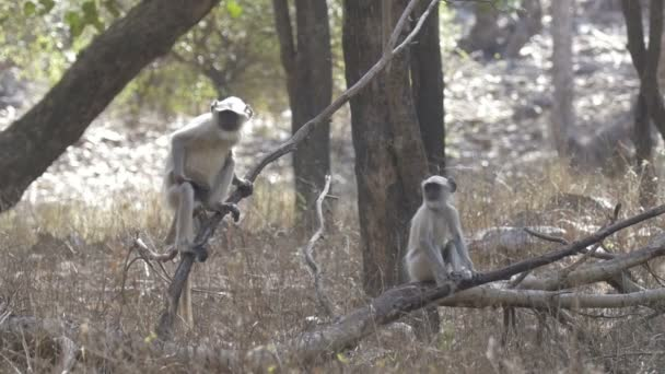 Langurs ül a fa ága a ranthambore nemzeti parkban, India