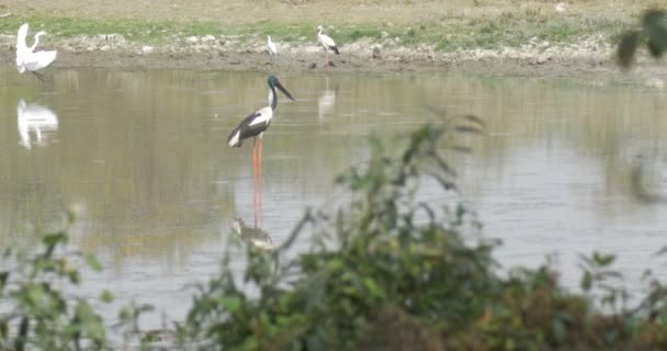 Black Necked Stork standing in water, ranthambore national park, India