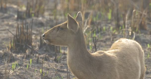 HOG Deer, ranthambore national park, Indie