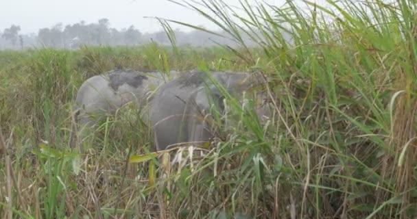 Elefánt, elefánt fű, ranthambore nemzeti parkban, India
