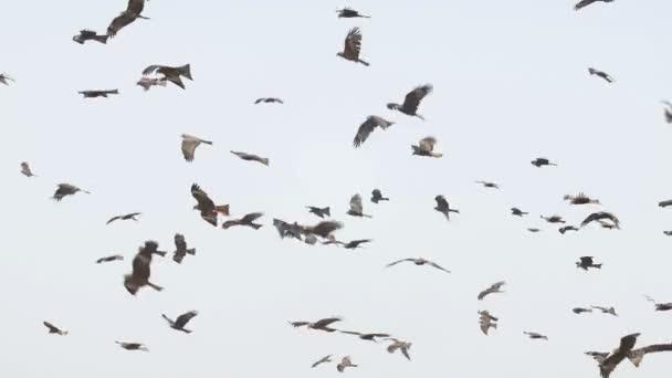 Barna kánya állomány repül Guwahati lerakóhely telek, India