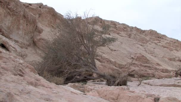 View of dry dead Acacia tree in Arava Valley, Israel