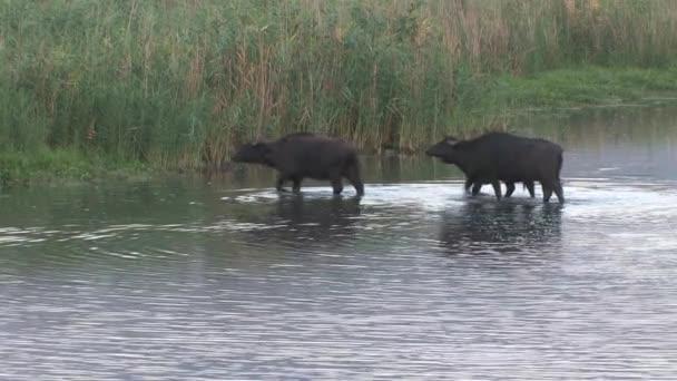 Wasserbüffel im Wasser, Hula-See, Israel