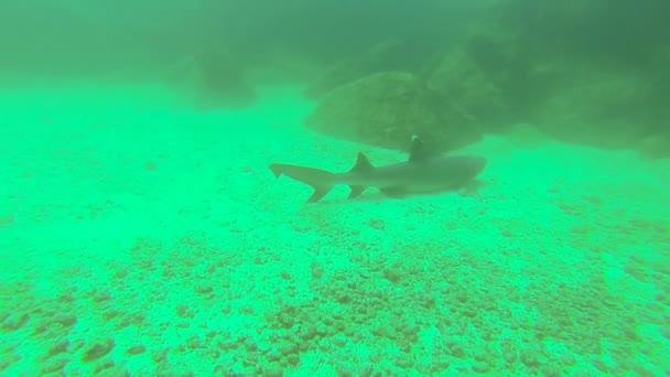 Weißspitzenhai schläft auf Meeresgrund, Kanalinsel Afuera, Panama