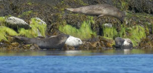 View of Grey Seals resting on rocks in low tide, Isle of Skye, Scotland