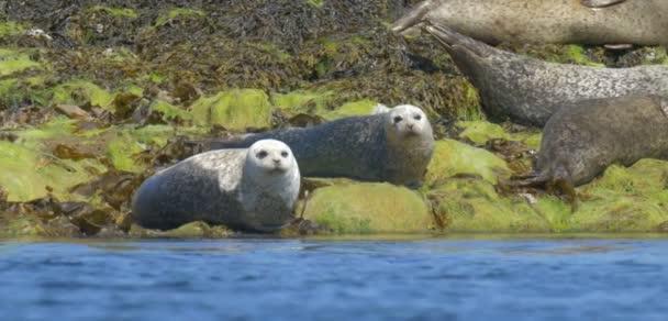 Nézd Grey-tömítések pihen a sziklák apály, Isle of Skye, Skócia