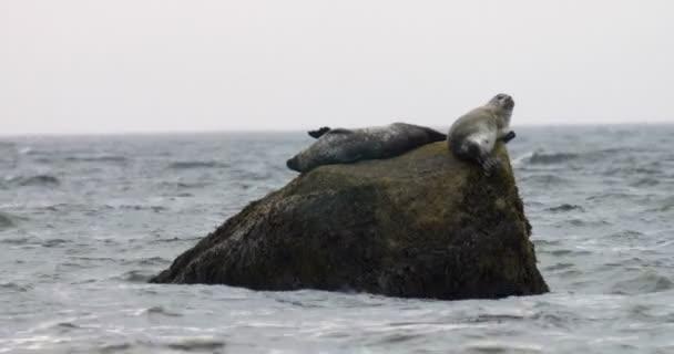 Tuleně odpočívající na rock, Cape Cod, Massachusetts, Usa