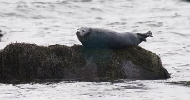 Borjúfóka pihen a rock, Cape Cod, Massachusetts, Amerikai Egyesült Államok