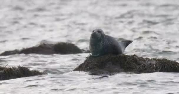 Harbor Seal resting on rock, Cape Cod, Massachusetts, USA